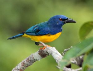 Blue-backed Tanager