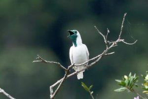 White Bellbird
