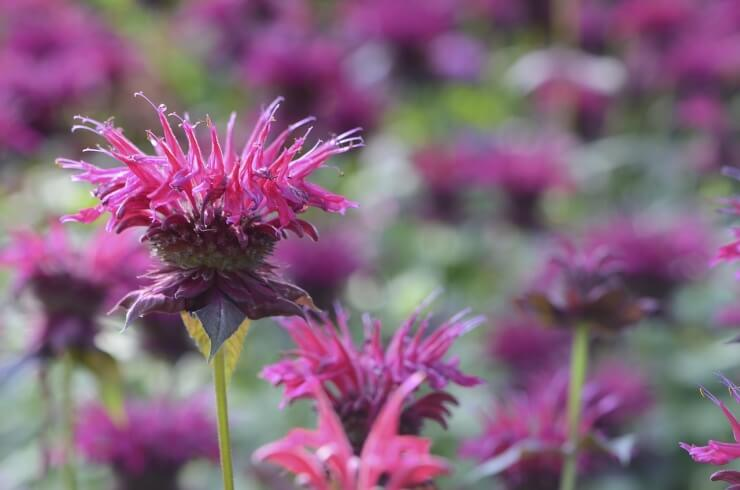 Bee balm for attracting hummingbirds