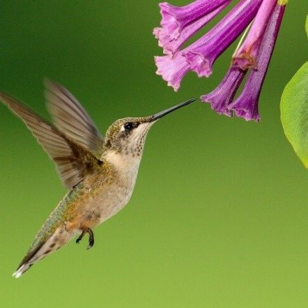 Best flowers that attract hummingbirds