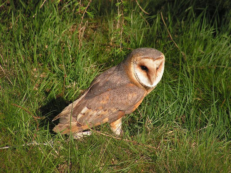 Barn owl foraging