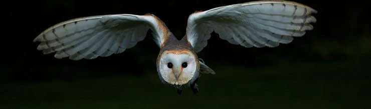 Barn owl nocturnal