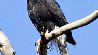Black Sparrowhawk (Accipiter-melanoleucus)