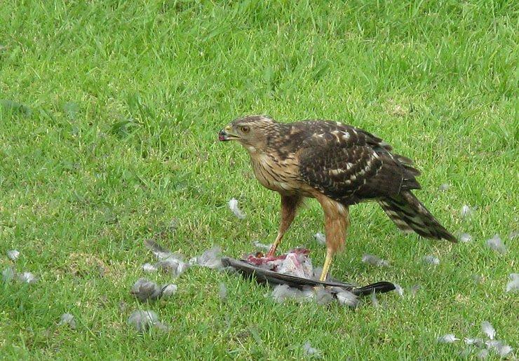 Black Sparrowhawk hunting