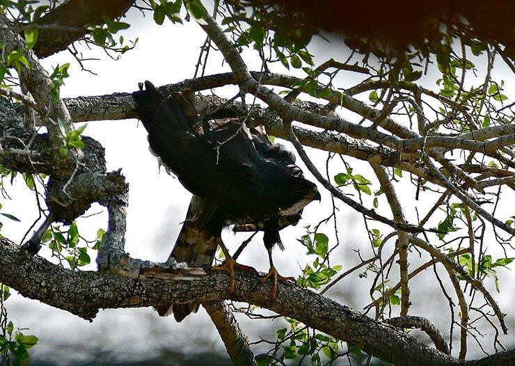 Black Sparrowhawk nesting