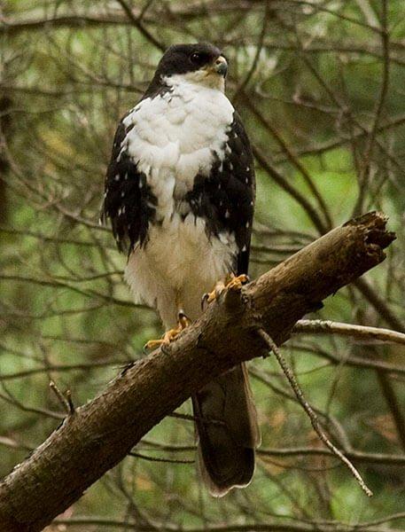 Black Sparrowhawk white morph