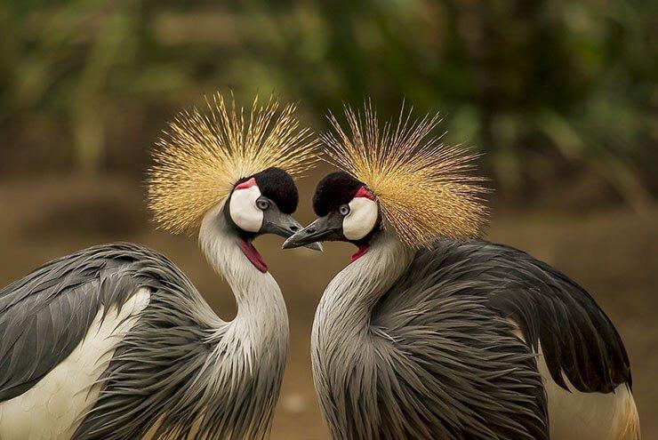 Crowned crane pair