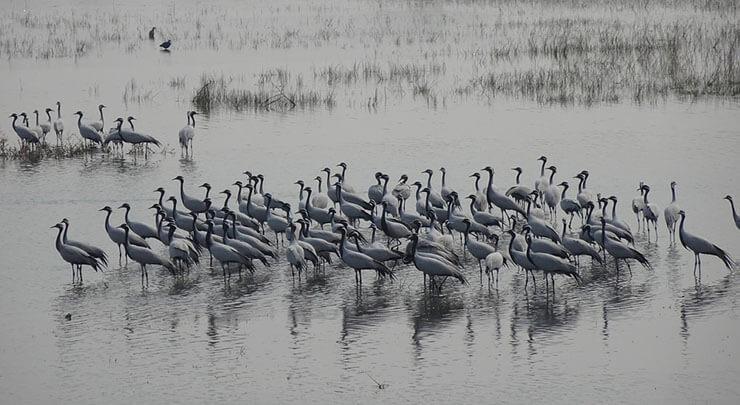 Demoiselle crane flock