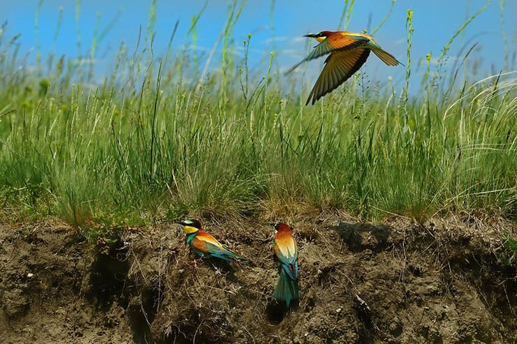 European Bee-Eater burrows