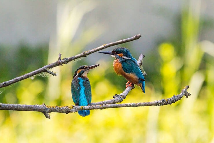 Kingfisher pair