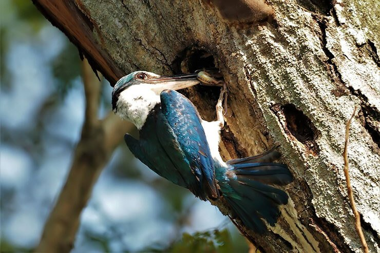Kingfisher tree nest