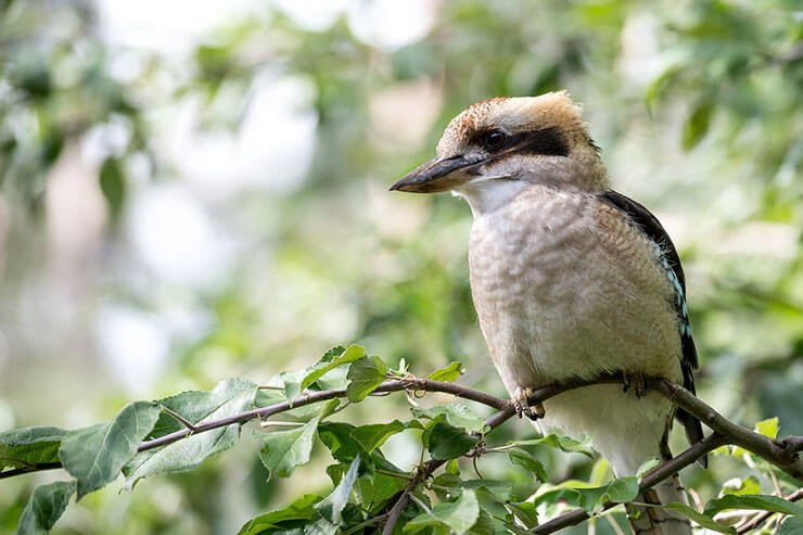 Laughing kookaburra (Kingfisher subfamily)