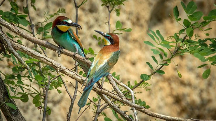 Merops Apiaster (Bee-Eater) courtship feeding
