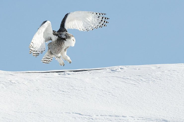 Snowy Owl lending