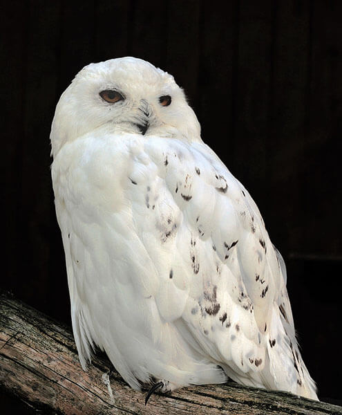 Snowy Owl nocturnal