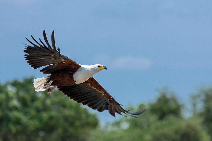 African Fish Eagle flight