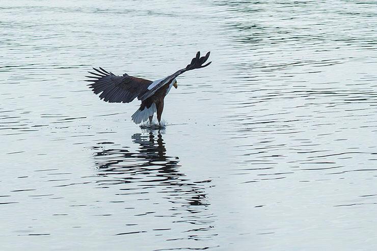 African Fish Eagle hunting fish