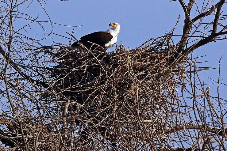 African Fish Eagle nesting