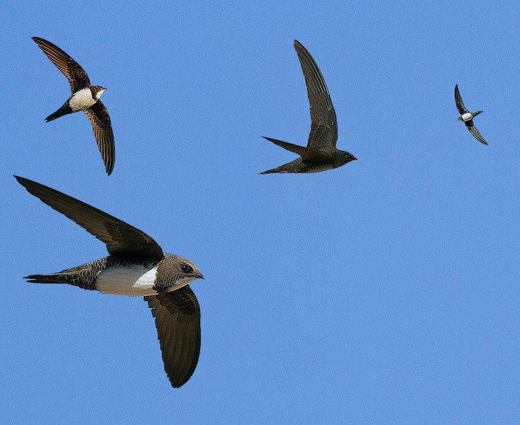 Alpine swift distribution