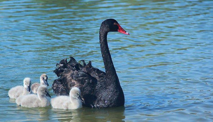 Black swan chicks