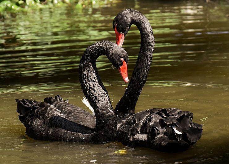 Black swan pair