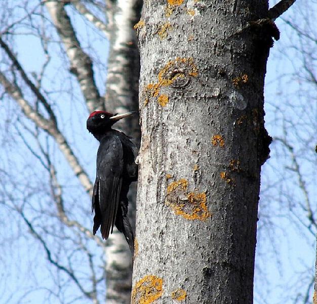 Black Woodpecker aspect