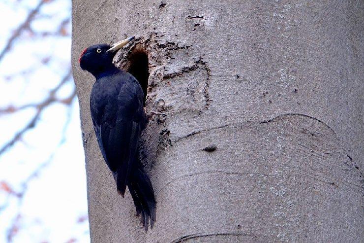 Black Woodpecker nest