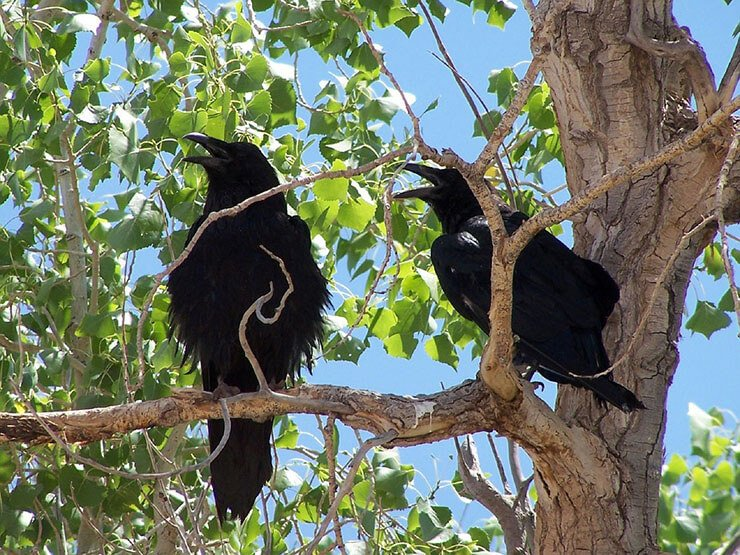 Common Ravens on the tree