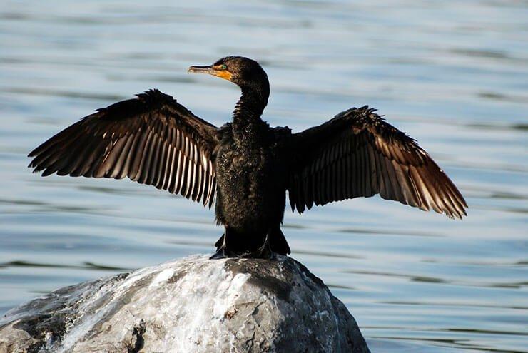 Cormorant basking