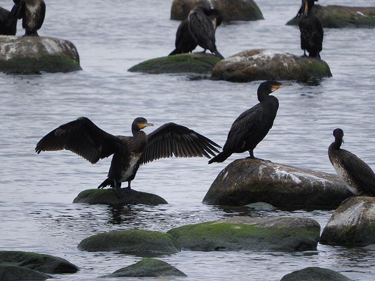 Cormorant conservation