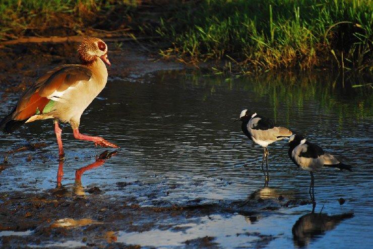 Egyptian Goose habitat