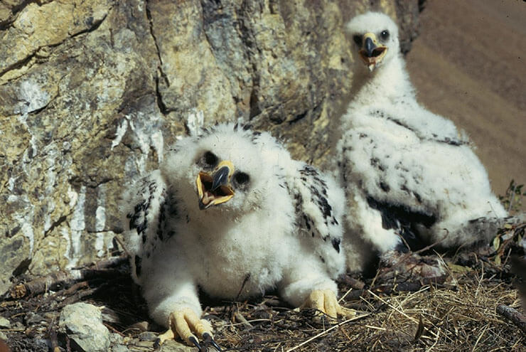 Golden eagle chicks