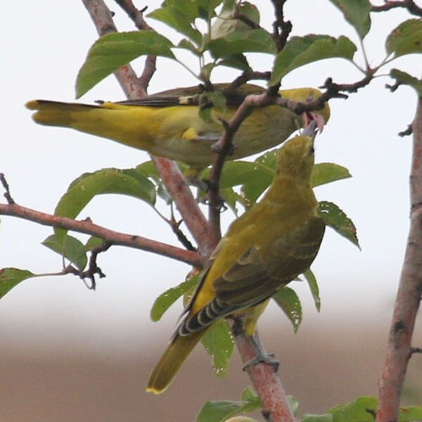 Golden Oriole male and female
