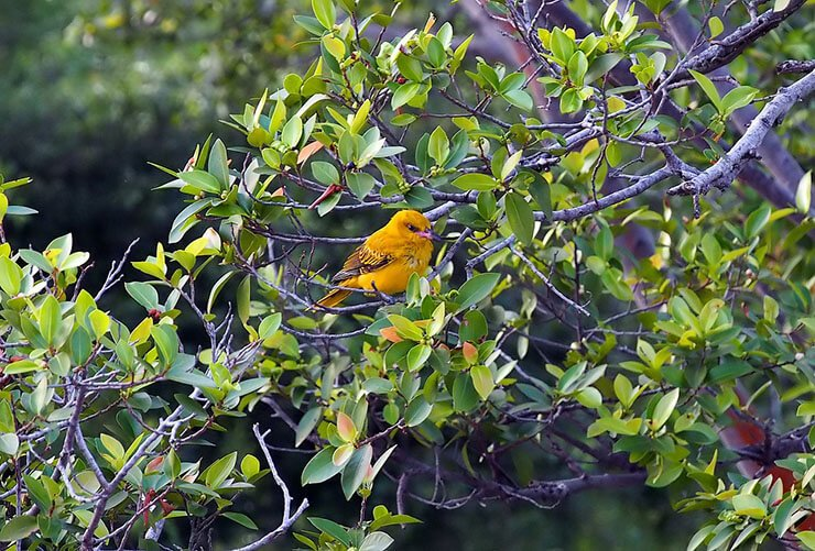 Golden Oriole on a branch