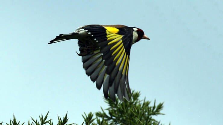 Goldfinch in flight