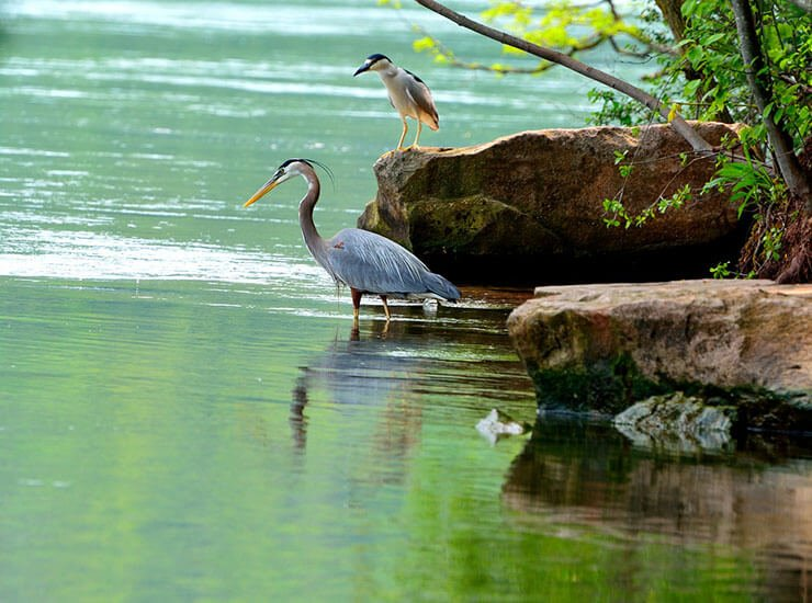Great Blue Heron in the river