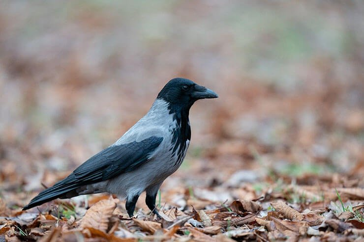Hooded crow on the ground