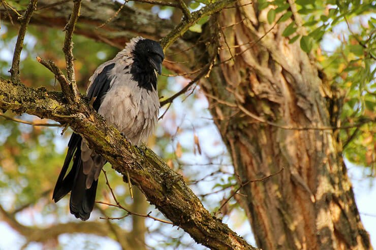 Hooded crow on the tree
