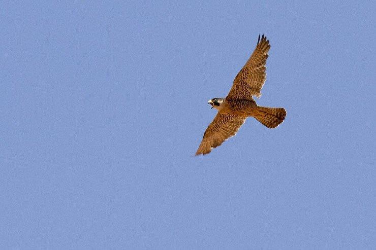 Peregrine Falcon gliding