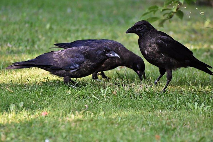 Ravens conservation