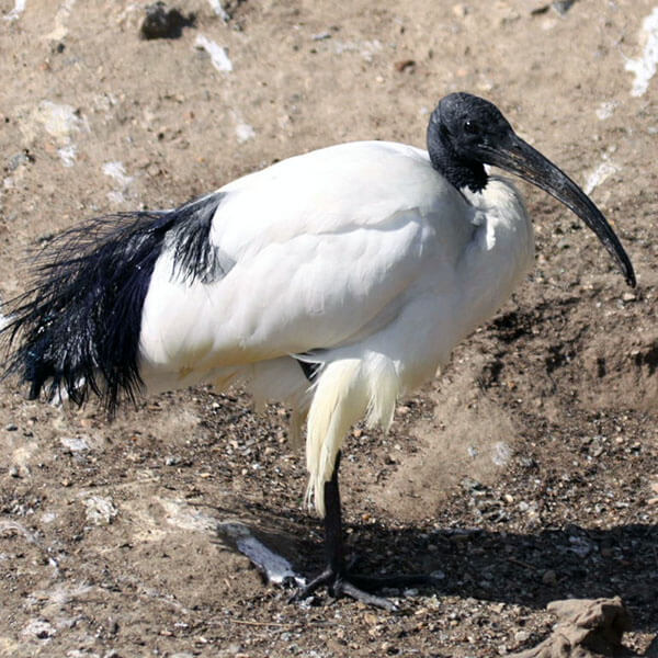 Sacred Ibis appearance