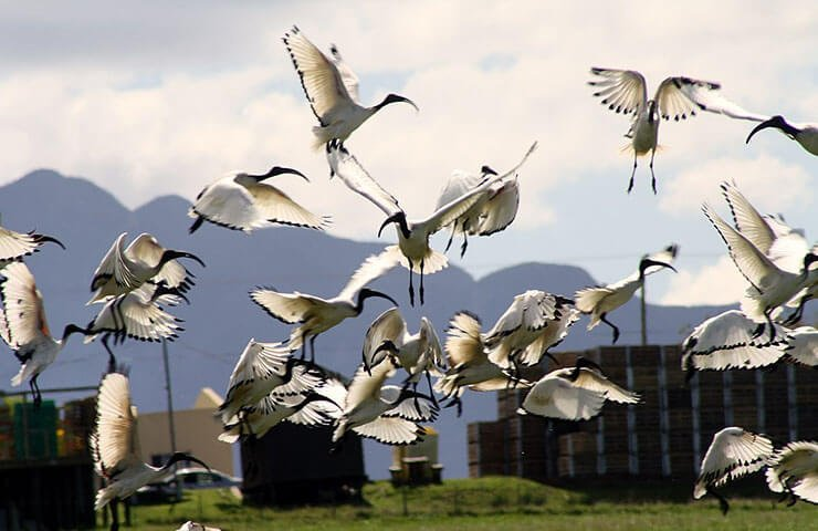 Sacred Ibis conservation