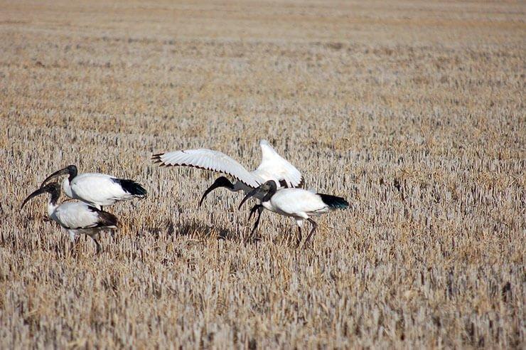 Sacred Ibis foraging