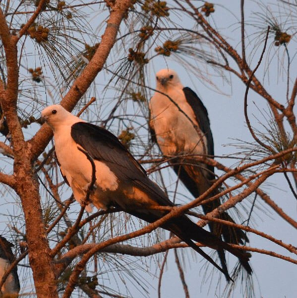 Swallow-tailed Kites on the tree