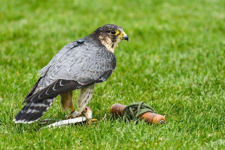 Tame Peregrine Falcon