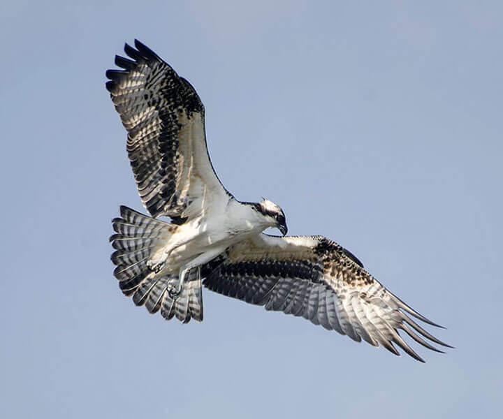 Western Osprey flight