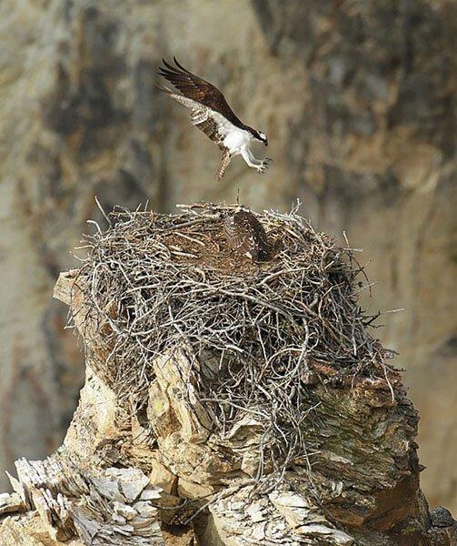 Western Osprey nest