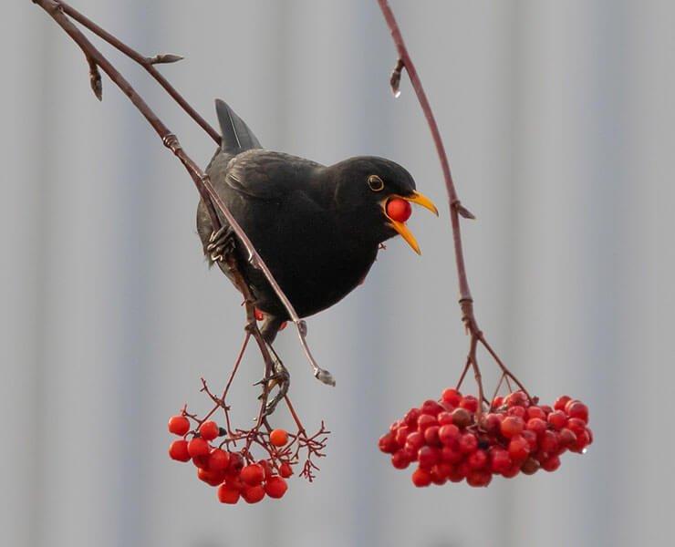 Blackbird diet