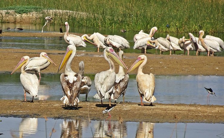 Colony of great white pelicans