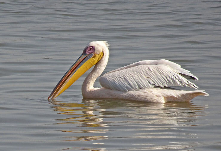Great white pelican aspects